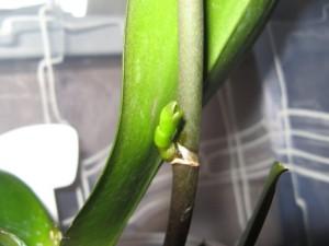 Размножаем орхидеи